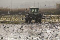 Ci?gnik uprawia ry?owego pole w Albufera Valencia przy zmierzchem zdjęcie stock