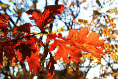 Żółci jesień liście na gałąź przeciw niebieskiemu niebu Obraz Stock