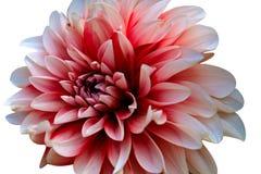 Ci?? kwiat na bia?ym tle zdjęcie royalty free