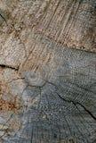 Cię puszek drzewo Obraz Stock