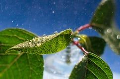 Ci?rrese encima de las hojas con descensos macros foto de archivo libre de regalías