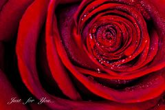 Ci?rrese encima de Rose imágenes de archivo libres de regalías