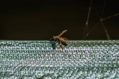 Ci?rrese encima de tiro macro de una avispa colorida que descansa en el sol imagen de archivo