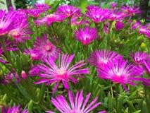 Ci?rrese para arriba de flores p?rpuras fotos de archivo