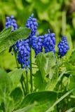 Ci?rrese para arriba de jacinto de uva en un prado del wildflower imagen de archivo