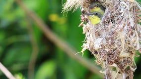 Ci?rrese para arriba de la familia Aceituna-apoyada de Sunbird; p?jaro de beb? en una jerarqu?a del p?jaro que cuelga en la comid metrajes
