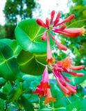 Ci?rrese para arriba de las flores de la madreselva imagen de archivo libre de regalías