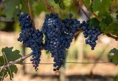 Ci?rrese para arriba de las uvas rojas del merlot en vi?edo St Emilion, Gironda, Aquitania imágenes de archivo libres de regalías