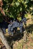 Ci?rrese para arriba de las uvas rojas del merlot en vi?edo St Emilion, Gironda, Aquitania foto de archivo