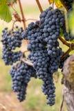 Ci?rrese para arriba de las uvas rojas del merlot en vi?edo St Emilion, Gironda, Aquitania imagen de archivo