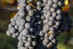 Ci?rrese para arriba de las uvas rojas del merlot en vi?edo St Emilion, Gironda, Aquitania imagen de archivo libre de regalías