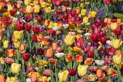 Ci?rrese para arriba de tulipanes y de jacintos de uva clasificados fotos de archivo libres de regalías