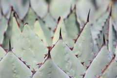 Ci?rrese para arriba de un cactus imagen de archivo libre de regalías