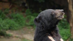 Ci?rrese para arriba de un oso negro asi?tico en bosque almacen de metraje de vídeo