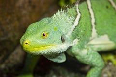 Ci?rrese para arriba de una iguana verde fotos de archivo