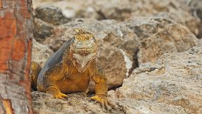 Ci?rrese para arriba de una plaza colorida del sth de la iguana de la tierra en las Islas Gal?pagos almacen de metraje de vídeo