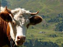 Ci?rrese para arriba de una vaca cabelluda marr?n clara imagenes de archivo