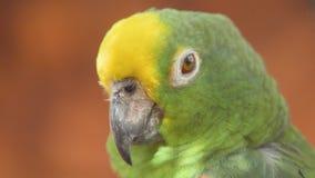 Ci?rrese para arriba del loro coronado amarillo del Amazonas clip 4k metrajes