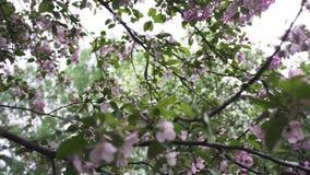 Ci?rrese para arriba para la rama de los flores rosados de la manzana en tiempo de primavera El manzano est? en la floraci?n Cant metrajes