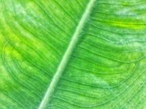 Ci?rrese para arriba para las l?neas de la textura de una licencia verde fresca del cococasia imágenes de archivo libres de regalías