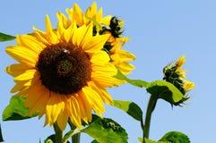 Żółci słoneczniki Obrazy Stock