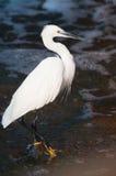 ciała egret mały strzał Zdjęcie Royalty Free