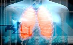 ciała istoty ludzkiej płuca Zdjęcie Royalty Free