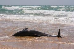 Ciało bottlenose nieżywi delfiny myjący na ląd Fotografia Stock