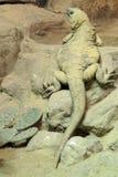 ciało folująca jaszczurka Obrazy Stock