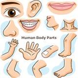 Ciało ludzkie części - Wektorowa ilustracja ilustracji