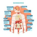 Ciało ludzkie hormony wektorowy ilustracyjny diagram, ludzkiego organu kolekcja Edukacyjna medyczna informacja royalty ilustracja