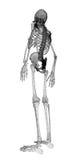 Ciało ludzkie, kościec ilustracji