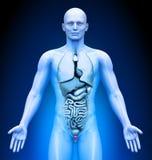 Medyczny zobrazowanie prostata - Męscy organy - Obraz Royalty Free