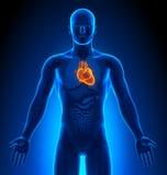 Medyczny zobrazowanie serce - Męscy organy - ilustracji