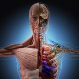Ciało ludzkie promieniowaniami rentgenowskimi na błękitnym tle royalty ilustracja