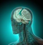Ciało ludzkie promieniowaniami rentgenowskimi na błękitnym tle (organy) ilustracja wektor
