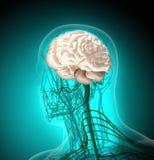 Ciało ludzkie promieniowaniami rentgenowskimi na błękitnym tle (organy) royalty ilustracja