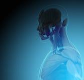 Ciało ludzkie promieniowaniami rentgenowskimi na błękitnym tle (organy) ilustracji