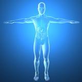 Ciało ludzkie promieniowaniami rentgenowskimi, trawienny system ilustracji