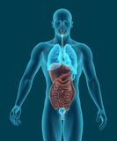 Ciało ludzkie z trawiennego systemu wewnętrznymi organami 3d odpłaca się Zdjęcia Stock