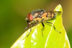 Ciało komarnica Obraz Royalty Free