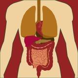 Ciało ludzkie anatomii ikona i medyczna organu systemu ikona i Obraz Stock