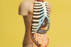 Ciało Ludzkie anatomii model Obrazy Royalty Free
