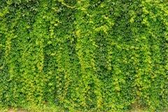 Ściana bluszcz zieleni ogrodzenie, zawodnik bez szans Obraz Royalty Free