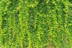Ściana bluszcz zieleni ogrodzenie, zawodnik bez szans Zdjęcia Royalty Free