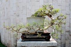 ściana bonsai Obraz Stock
