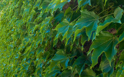 Ściana zielony bluszcz obraz royalty free