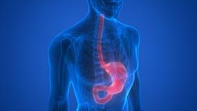 Ciało Ludzkie organy (żołądek anatomia) Fotografia Stock