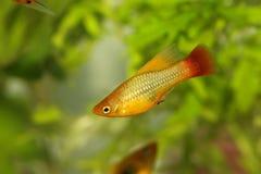 Ciao pesce tropicale dell'acquario di maculatus maschio di Xiphophorus del platy del Platy dell'aletta fotografia stock