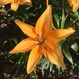 Ciao Tiger Lily immagine stock